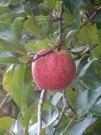 delicious apple fruit food healthy fresh vitamin