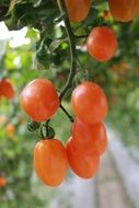 small red tomatoes on blurred background