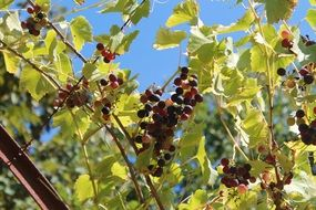 bunch of grapes on branches sunny scene