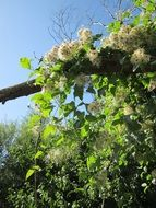 clematis vitalba, old man's beard vine with seeds