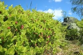 green bushes with berries