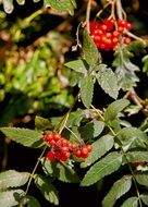 ripe ashberry on branch