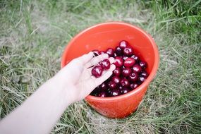 person takes cherries form bucket