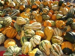 harvest of colorful pumpkins in fall