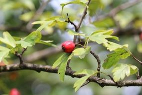 red rose hip nature
