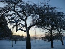 orchard under the snow