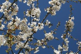 cherry blossom on a background of sky