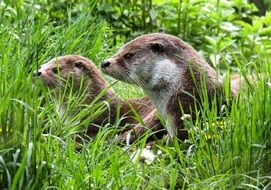 \two wild otters hiding in grass