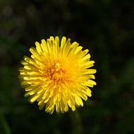 macro picture of a blooming yellow dandelion