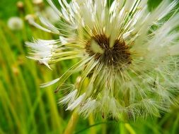 fluff of withered dandelion