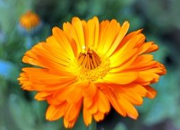 photo of marigold in a garden