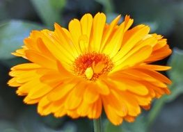 yellow flower calendula