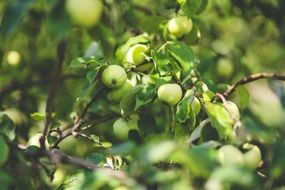 immature green apples on a branch