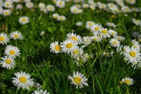 daisy flower blossom on the field