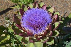 purple flower of artichoke closeup