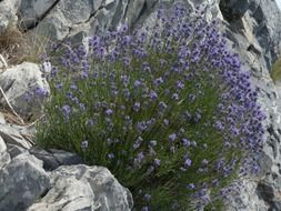 lavender flowers on stones