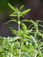 Green summer savory plants