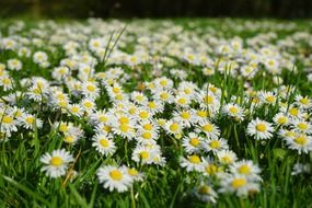 wonderful white daisy flower carpet meadow