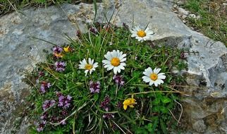 flower bed with daisies on the stones