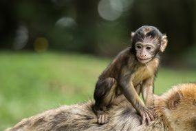 monkey baby on the mother's back