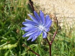 one light blue flower of the chicory