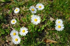 daisy flowers grass plant