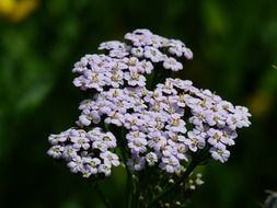 yarrow- grassland plants