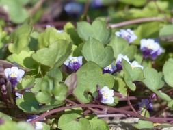The dulcimer herb is a plant species within the family of the Wegerichgewächse
