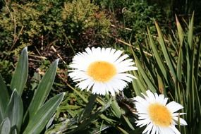 two huge daisies in the tropics