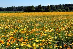 yellow meadow of medicinal plants