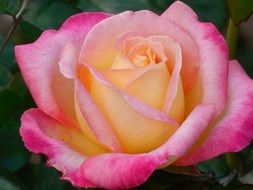pink and white flower rose floral romantic