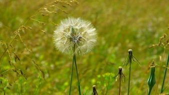 dandelions in a meadow among green grass