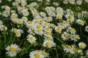 medical field of daisies