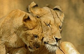 love of lions in the wild
