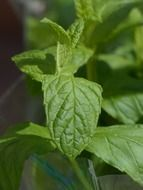 green mint kitchen herb