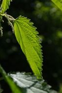 stinging nettle leaves with burning hair effect