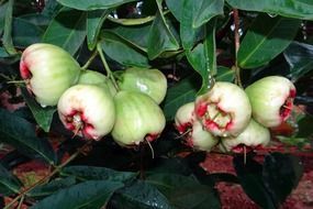 rose apple tropical