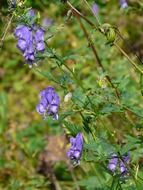 monkshood plant poisonous