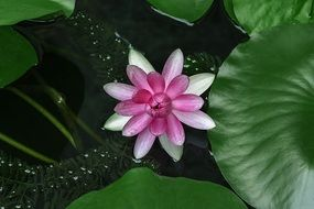 rose water lilies lotus aquatic plants