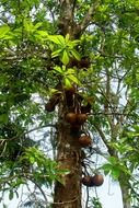 Couroupita guianensis or canon ball tree