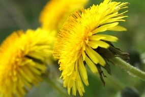 yellow dandelions blooming