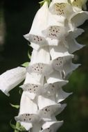white flowers of the medicinal plant Thimble