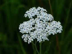 white yarrow flower buds