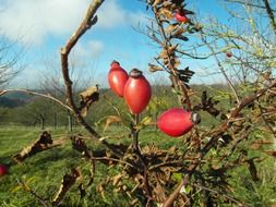 rose hip red fruit fall color