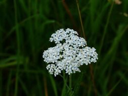yarrow grassland plants