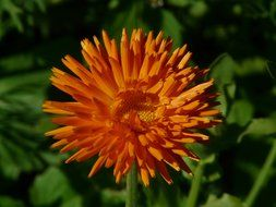 orange flower calendula closeup