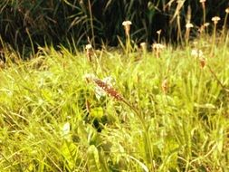 plantain meadow