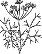 fennel herb rawing