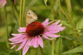 butterfly on the echinacea flower