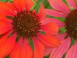 natural red coneflower